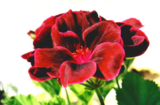 Duftpelargonie Black&Night